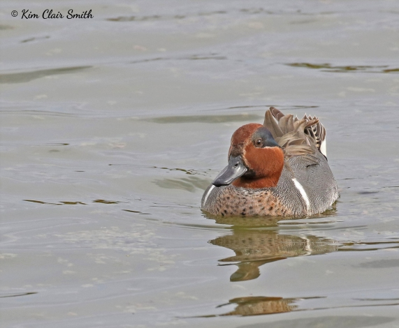 Green-winged Teal w sig - Estero Llano Grande