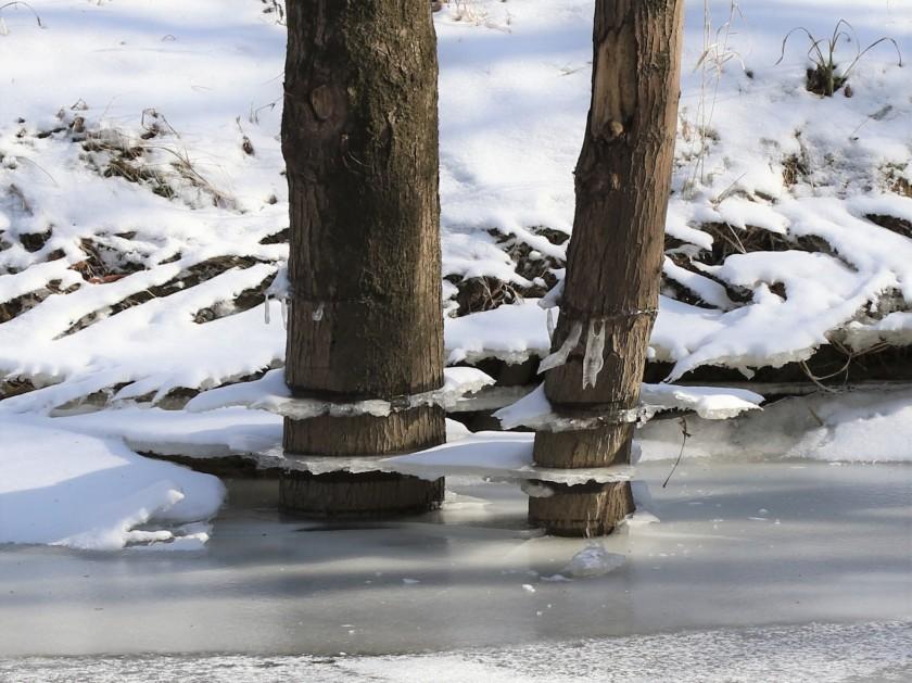 Ice shelves on trees along Ottawa River at Wildwood - blog
