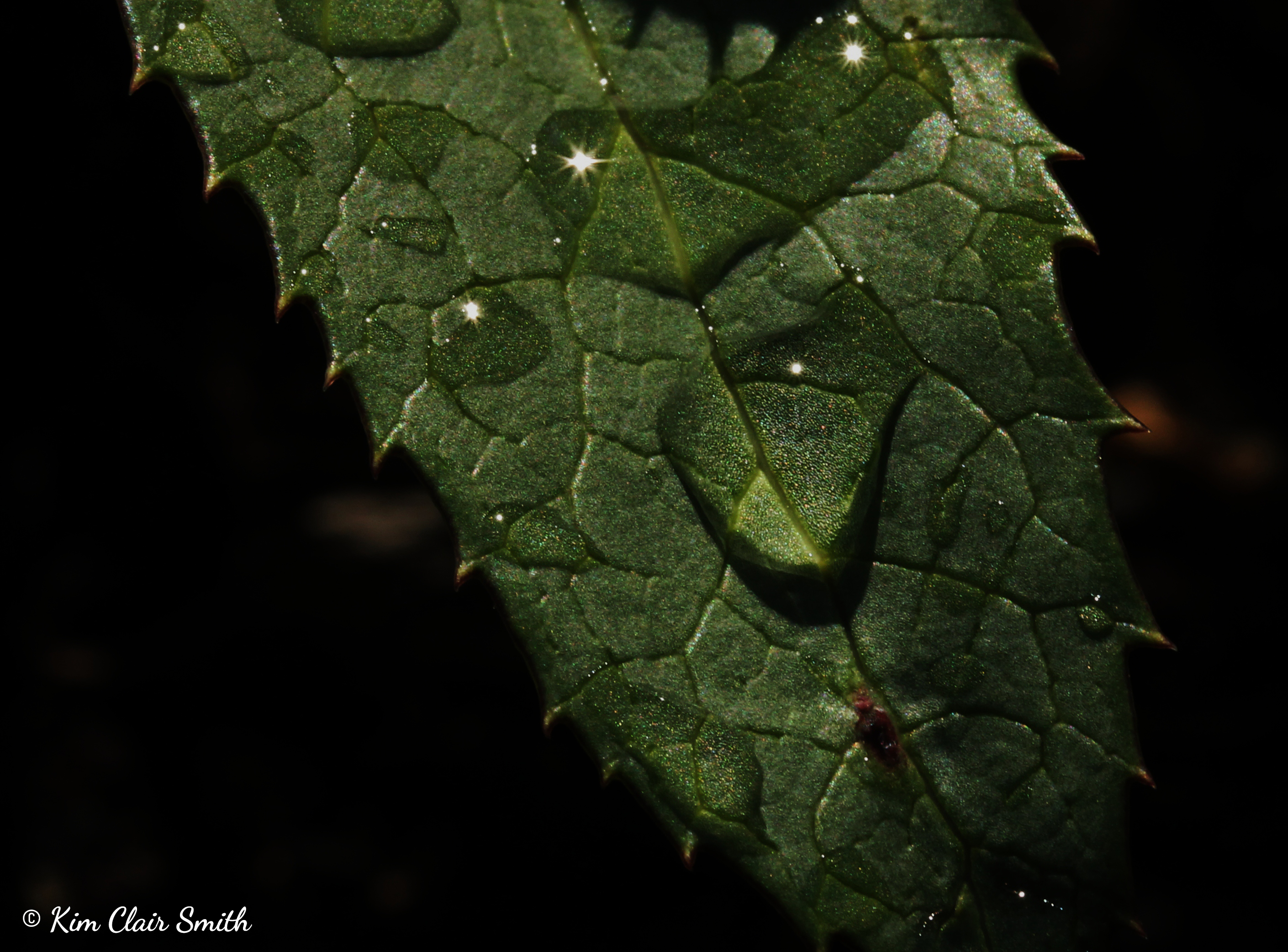 Leaf macro with water droplets and pointy edges.jpg