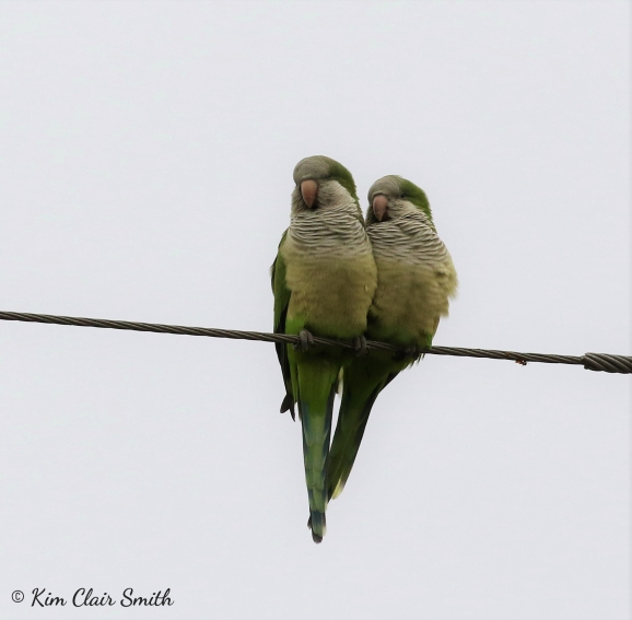 Monk parakeets in Hidalgo city - cropped w sig