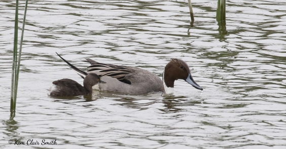 Northern pintail and Least grebe partnership w sig