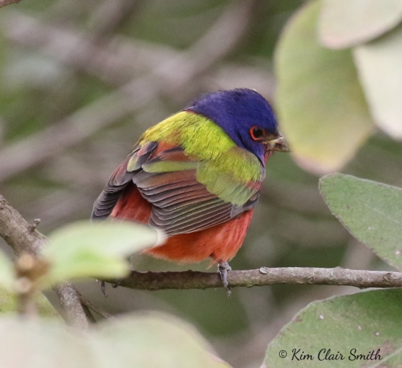 Painted Bunting w sig - copyright Kim Smith