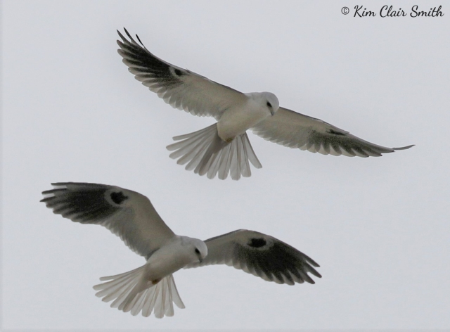 White-tailed Kite at my hotel - two postures merged into one photo v2 w sig