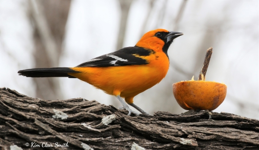 Altamira Oriole w sig copyright Kim Smith
