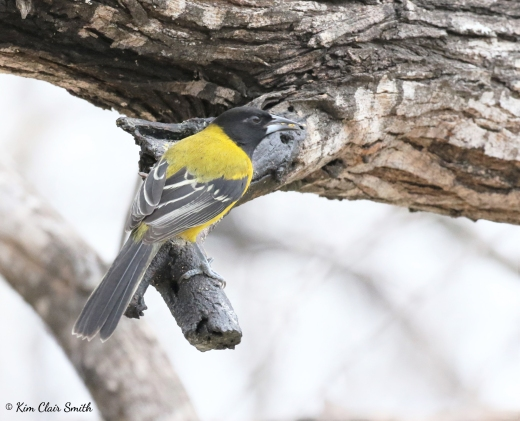 Audubon's Oriole w sig