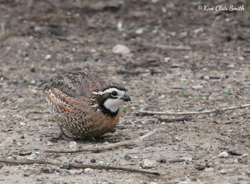 Northern Bobwhite quail w sig