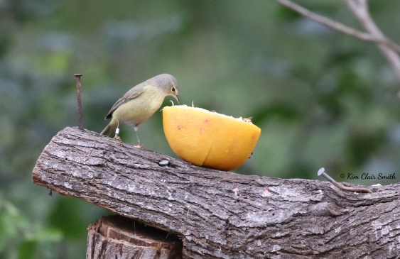 Orange-crowned warbler eating an orange - w sig