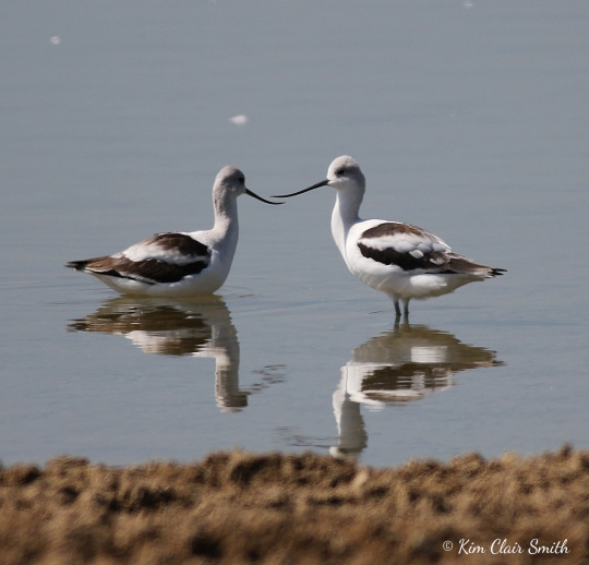 American Avocets at with reflections w sig