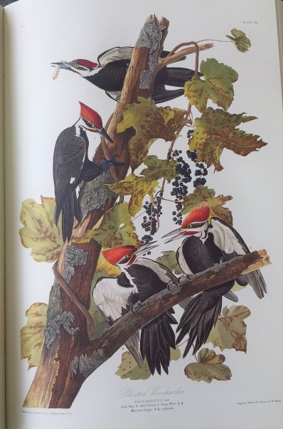 Audubon's Birds of America - from my copy - pileated woodpeckers