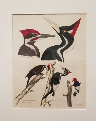 Pileated and Ivory-billed Woodpeckers, by Alexander Wilson