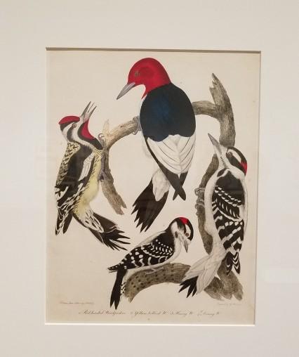 Woodpeckers by Alexander Wilson