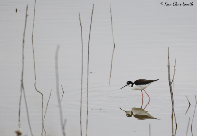 Black-necked stilt with reflection - copyright Kim Smith