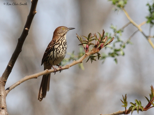 Brown Thrasher at Magee w sig