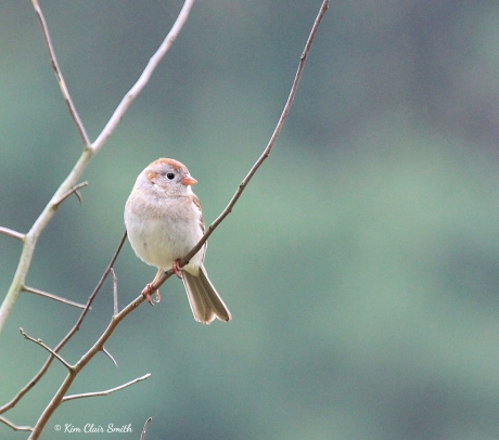 Field Sparrow at Oak Openings w sig Kim Smith