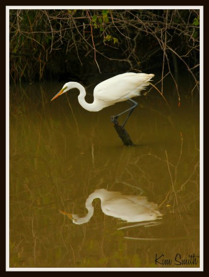 Great Egret and reflection in water w sig