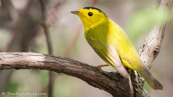 Wilson's Warbler by Kevin Vance via Flickr Creative Commons license