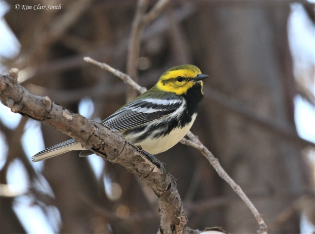 Black-throated Green warbler 2018 Magee