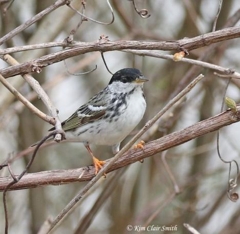 Blackpoll Warbler - Bayview Park - 2018 w sig