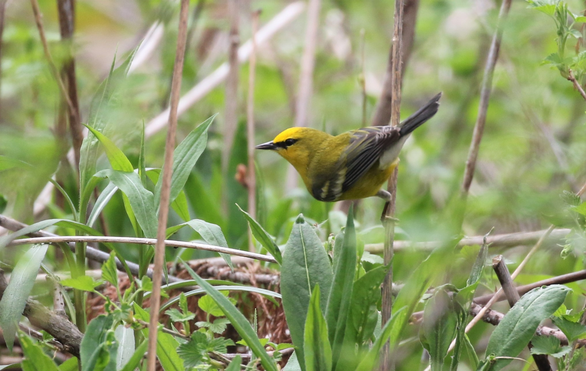 Blue-winged Warbler - Magee 2018