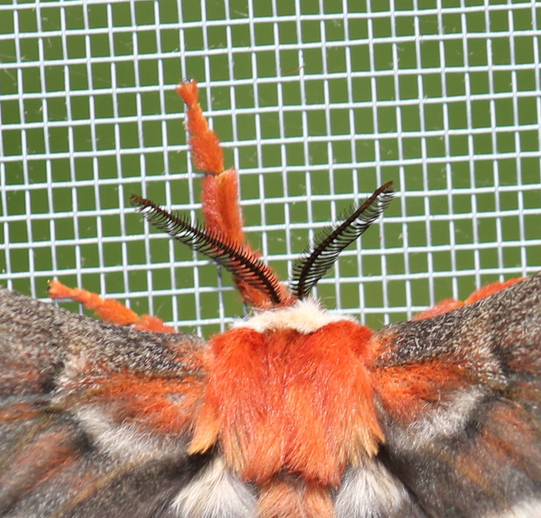 Cecropia moth at Rick's house - close crop of antennae