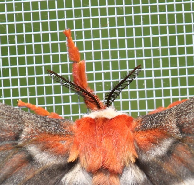 Cecropia moth at Rick's house - close crop of antennae