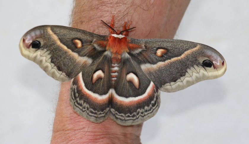 Cecropia moth on Rick's arm - full view from above