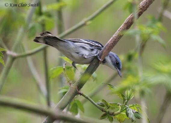 Cerulean Warbler - Magee 2018 w sig