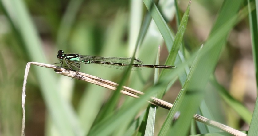 Fragile Forktail - Maumee Bay east end FOY