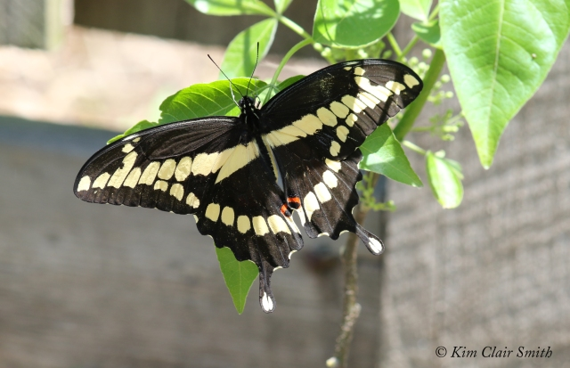 Giant Swallowtail on wafer ash tree w sig