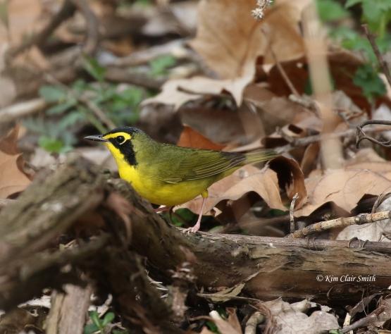 Kentucky Warbler - Magee 2018 w sig