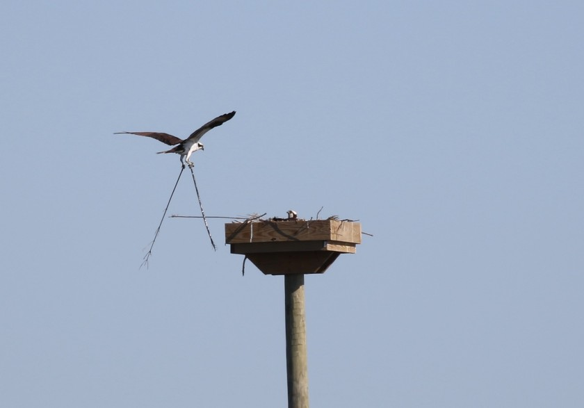 Osprey building nest at Howard Marsh