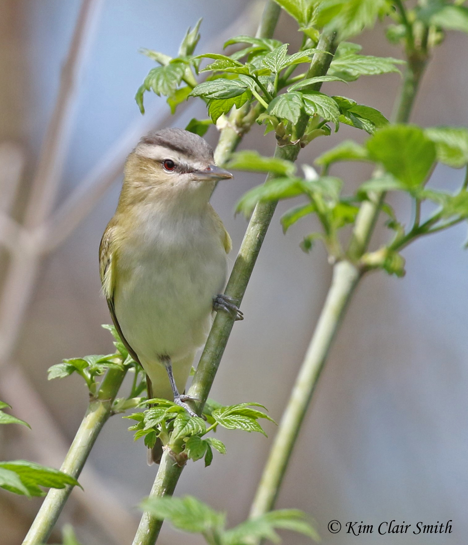 Red-eyed vireo - Magee 2018 w sig