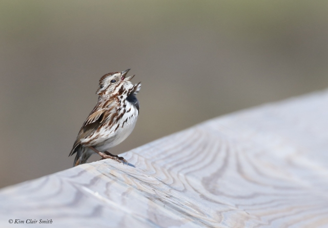 Song Sparrow singing on boardwalk at Howard Marsh w sig