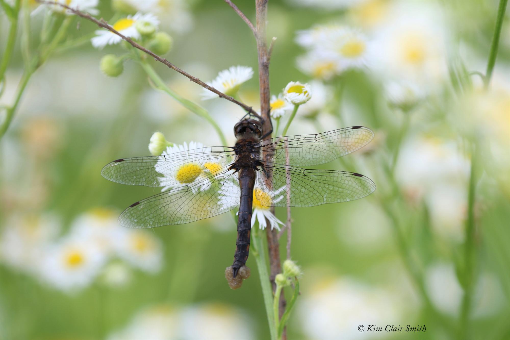 Baskettail species with eggs w sig