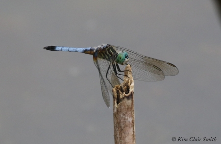 Blue dasher - WW Knight w sig