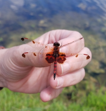 Calico Pennant dragonfly in the hand