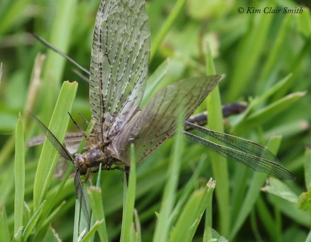 Clubtail with fishfly prey - series for blog (1) w sig