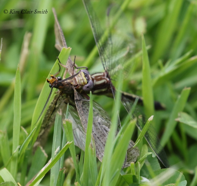 Clubtail with fishfly prey - series for blog (2) w sig