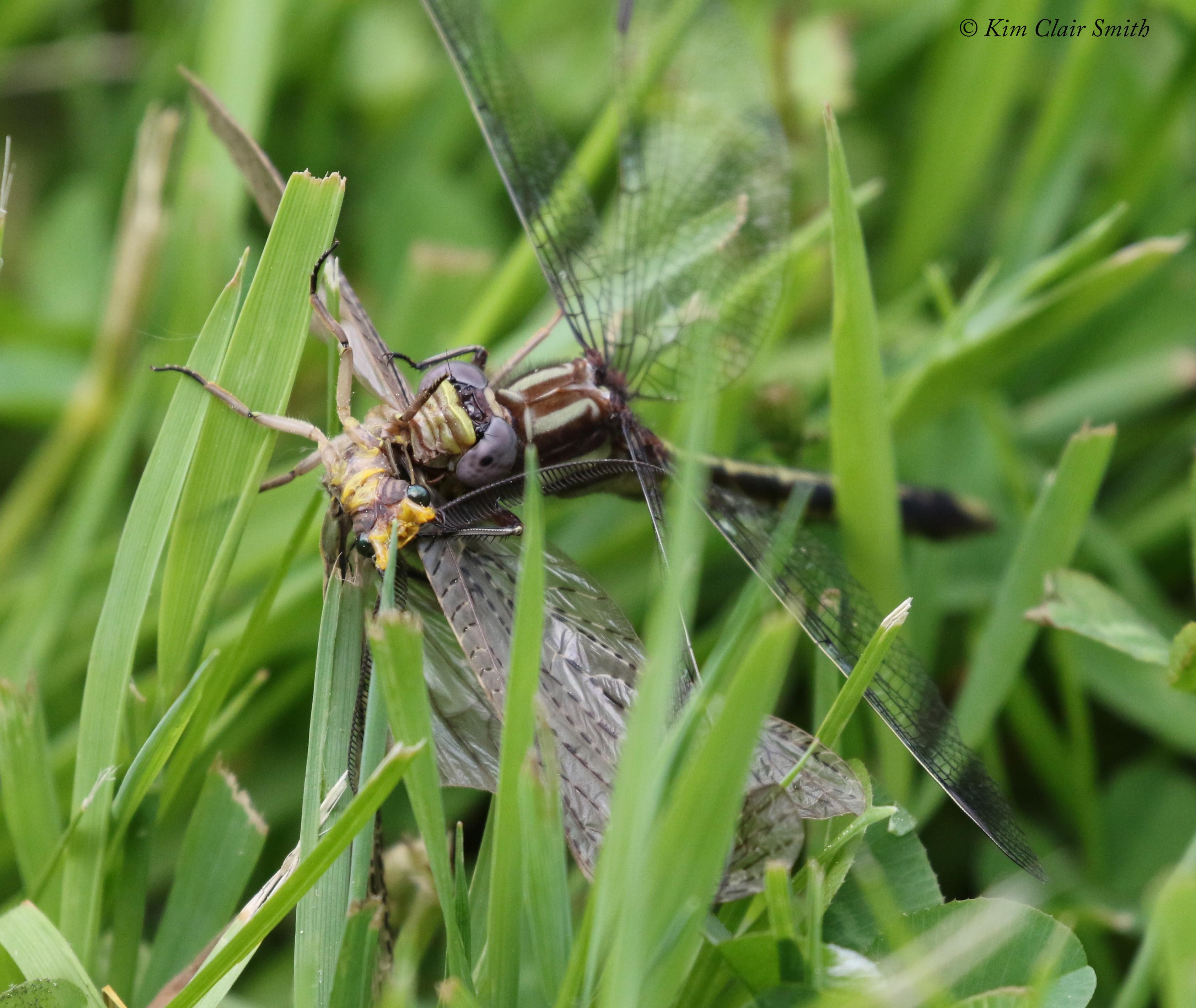 Clubtail with fishfly prey - series for blog (3) w sig