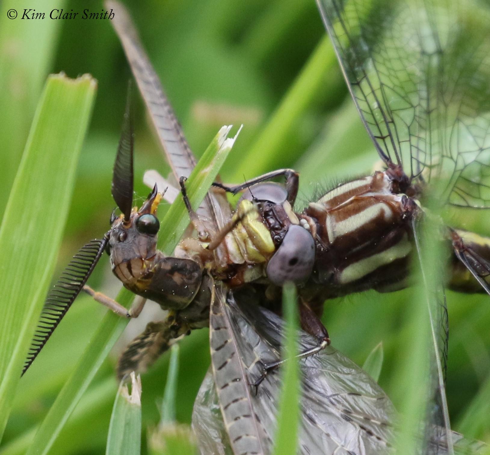 Clubtail with fishfly prey - series for blog (5) w sig