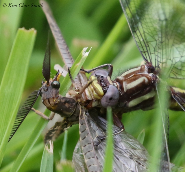 Clubtail with fishfly prey - series for blog (5) w sig