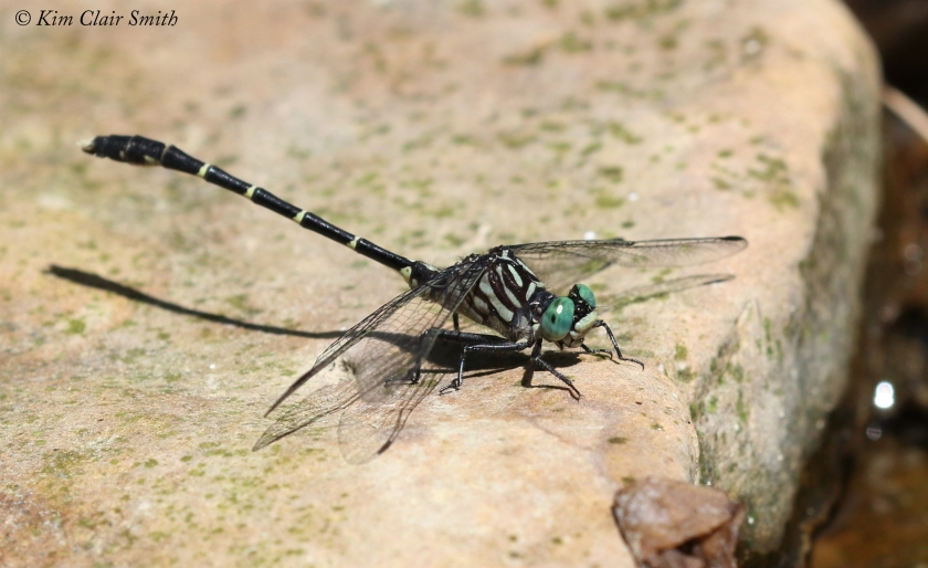 Eastern Least Clubtail - Hell Hollow w sig