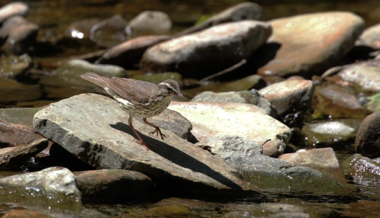 Louisiana Waterthrush at Hell Hollow for blog v3