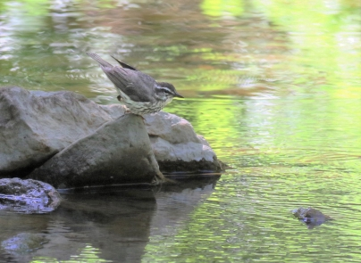 Louisiana Waterthrush at Hell Hollow for blog