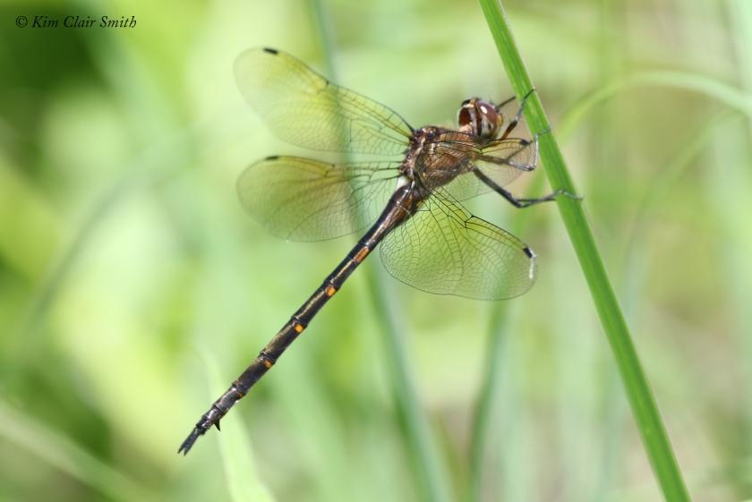 Mocha Emerald dragonfly