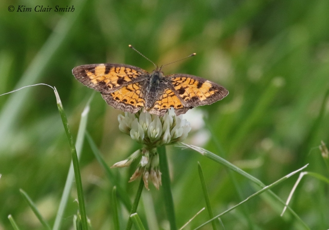Pearl Crescent butterfly w sig