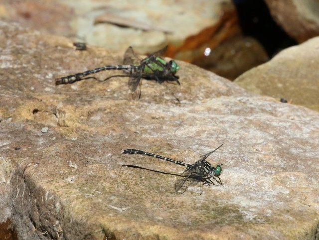 Riffle snaketail and Eastern Least Clubtail for size comparison