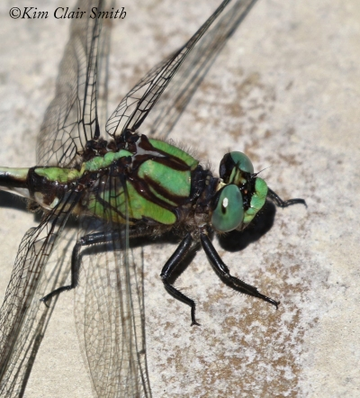 Riffle Snaketail - LIFER head crop w sig