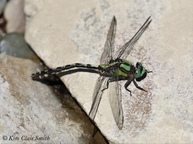 Riffle Snaketail - LIFER reduced w sig