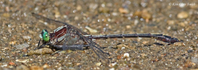 Black-shouldered spinyleg - really cool pic w sig